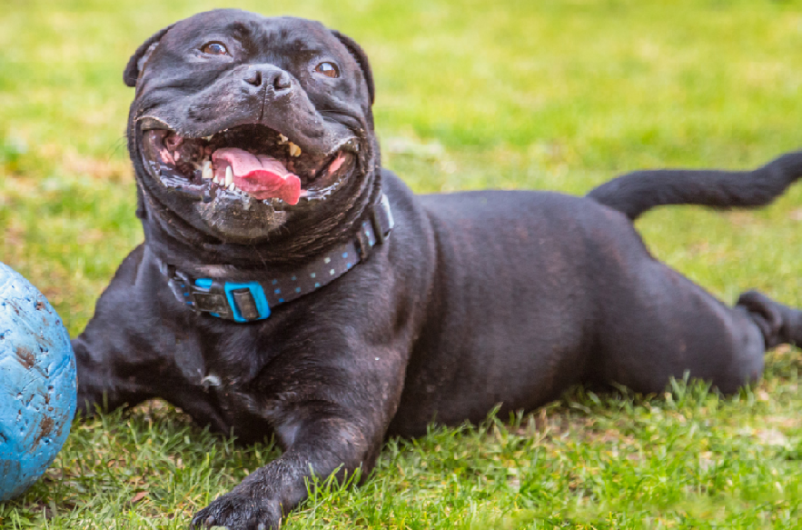 This image depicts a happy bulldog that has used CBD products designed for pets. By 2027, the CBD products for pets market is expected to hit and surpass $400 million USD.
