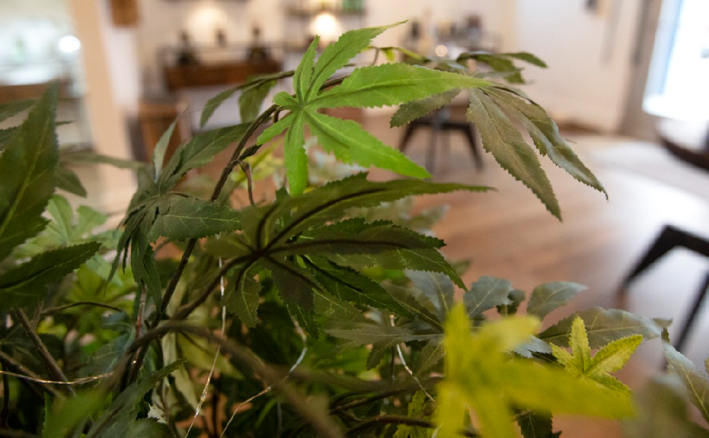 This image depicts the hemp plant. From hemp, CBD oil is made. It is expected that the industrial hemp market will reach and surpass USD 27 billion by 2026.