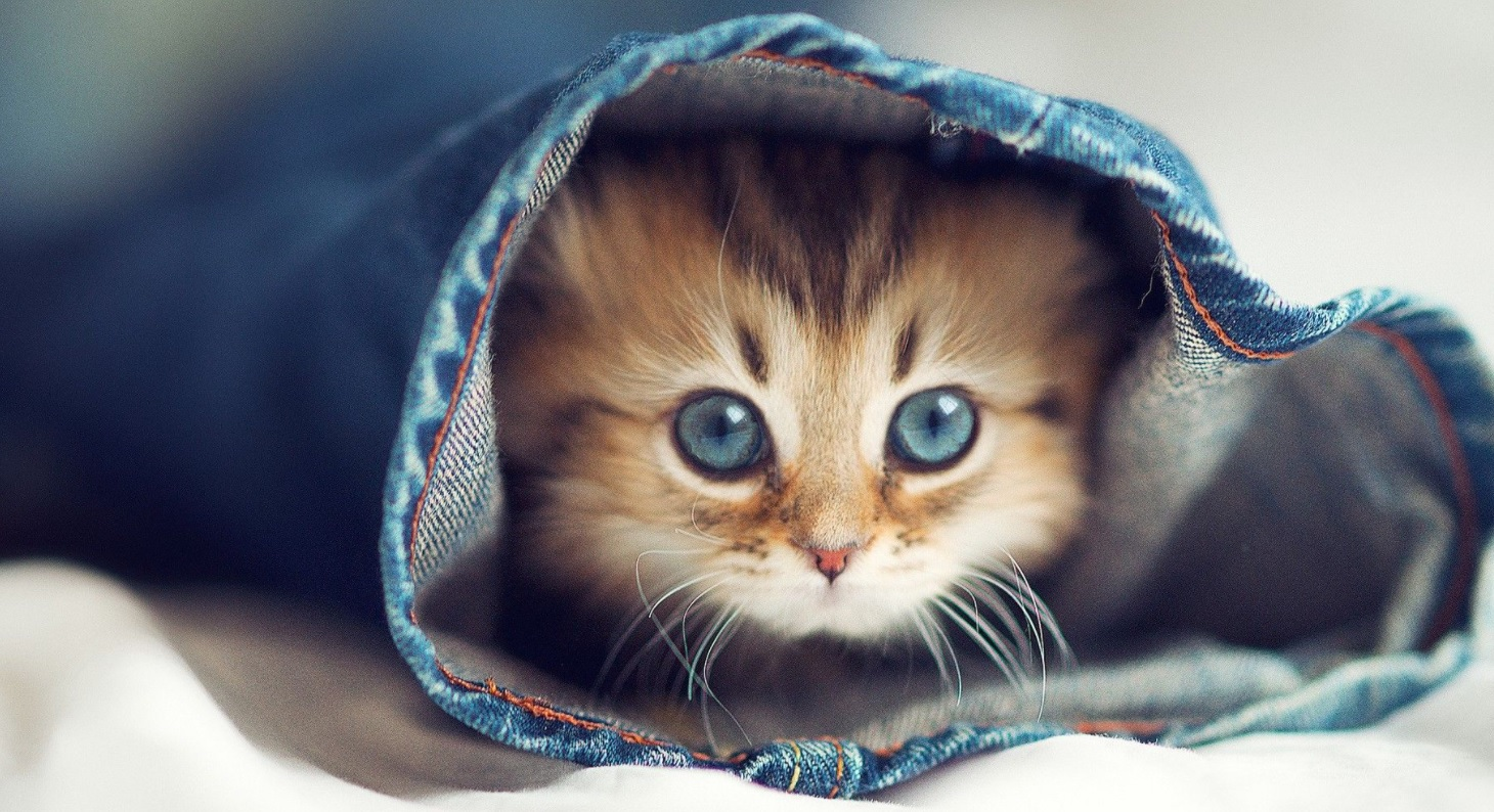 This image depicts a cat that is hiding in a piece of fabric after taking CBD oil.