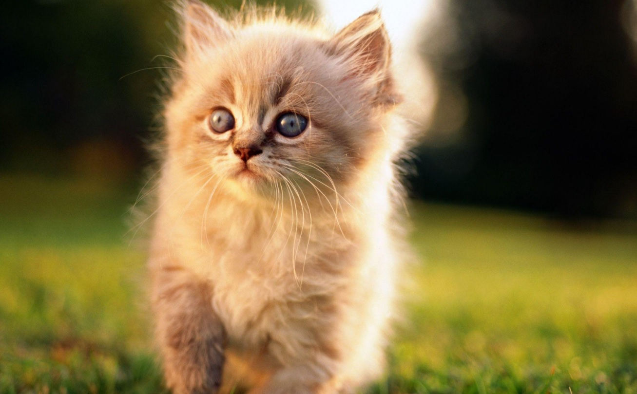 This image depicts a young kitten. This kitten has been provided CBD oil.