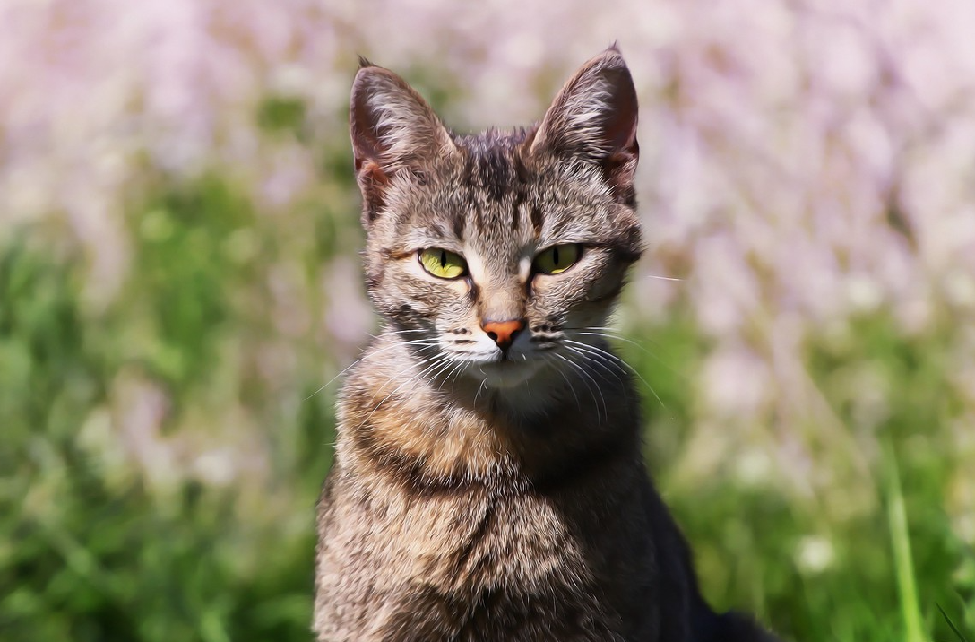CBD for cats can have a positive impact on the cat. This image depicts a cat that has used CBD