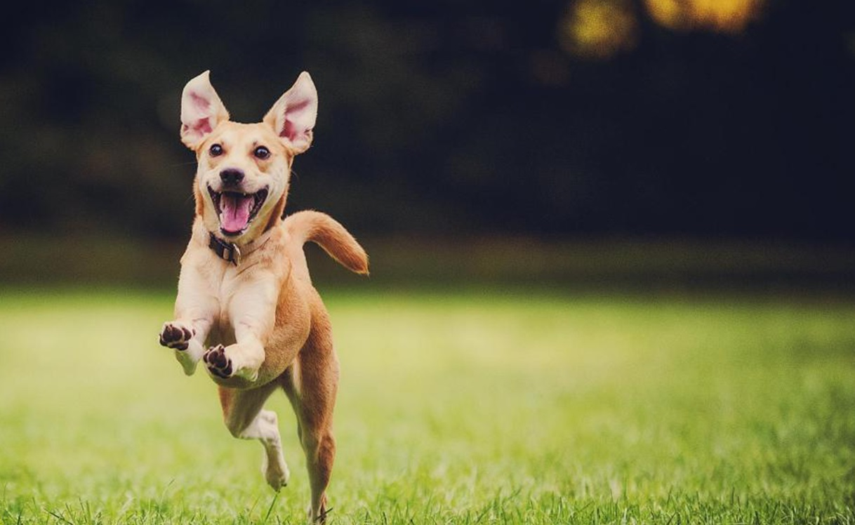 Buying CBD for dogs can be difficult, as there are so many products on the market. But this image depicts a dog that is happily running in the field after ingesting CBD.