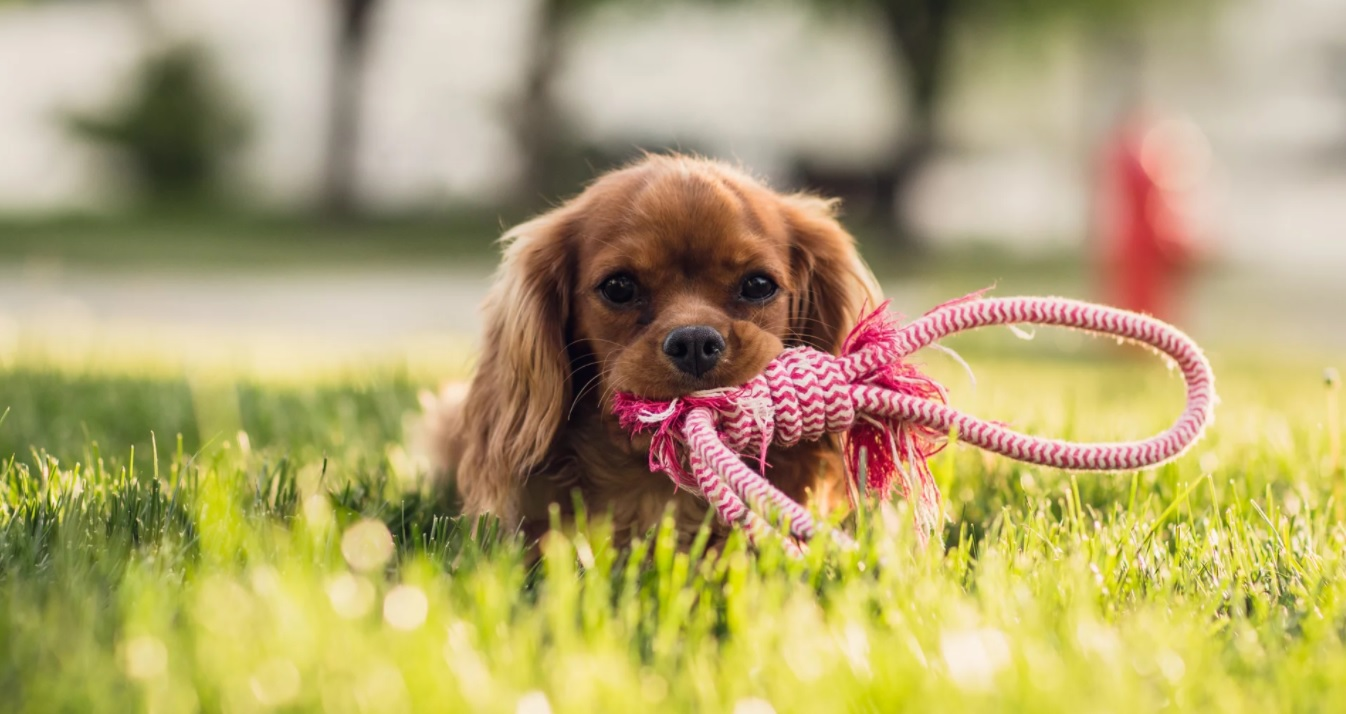 Buying CBD for dogs can be difficult, but this image depicts how happy a dog can get after using CBD. This image shows a dog playing after taking CBD.