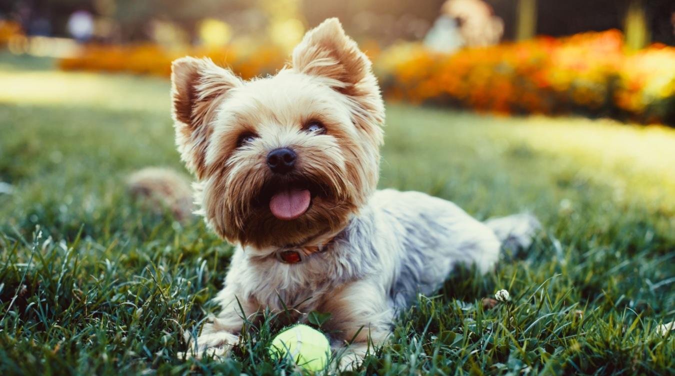 This image depicts a dog playing with a tennis ball after taking CBD treats for dogs.